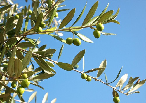 Growing Olives | by Stew Dean