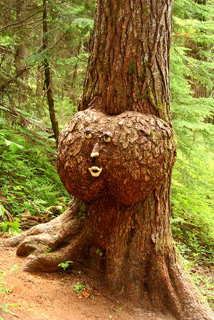 Cool looking burl on a tree on the Winner Creek Gorge trail