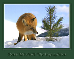 Red Fox 2 by Ross Mitchell