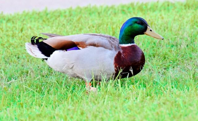 Quacks Me Up! - #1251