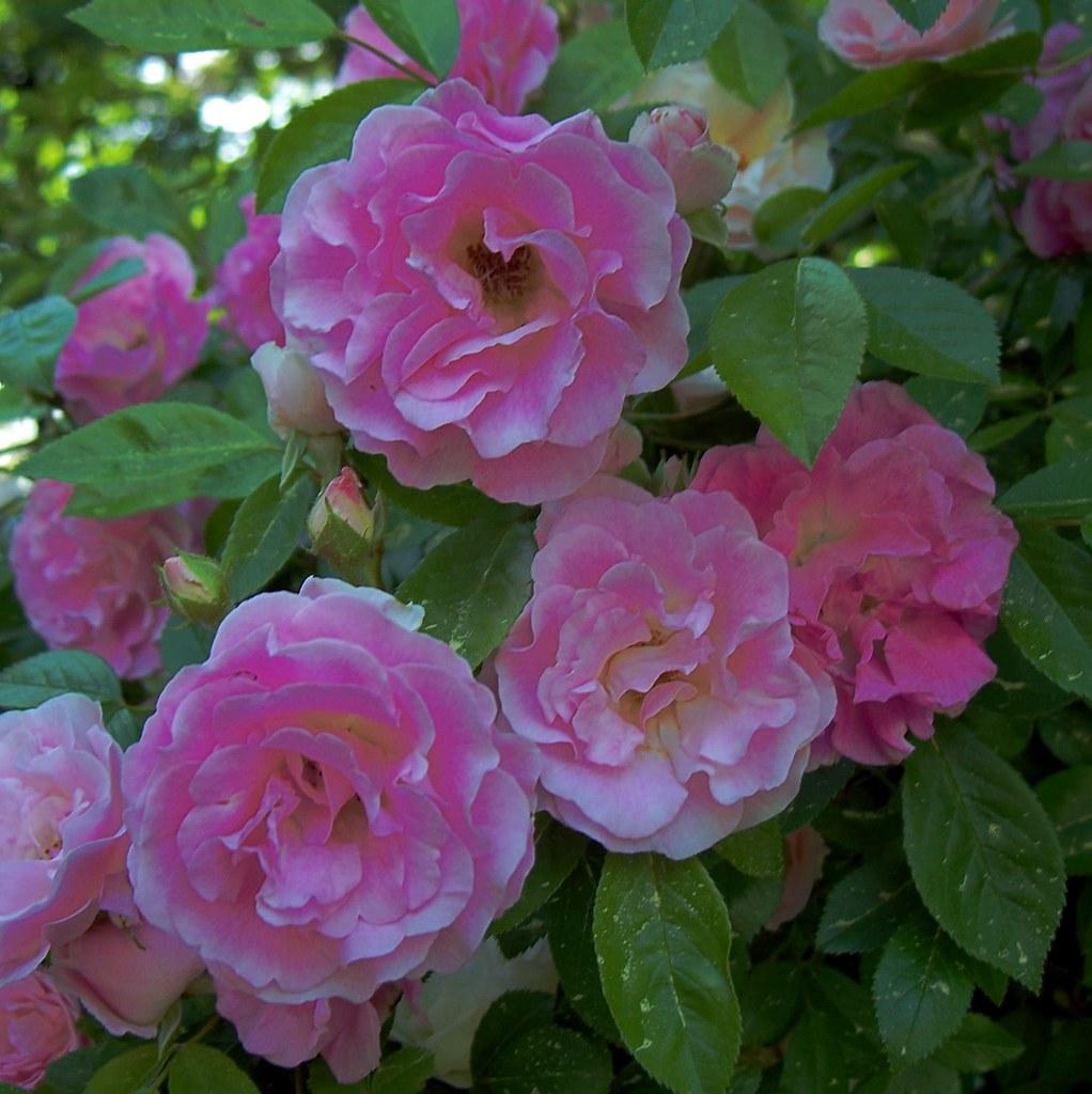 Seven Sisters Roses: Rosa Multiflora Platyphylla, 1817