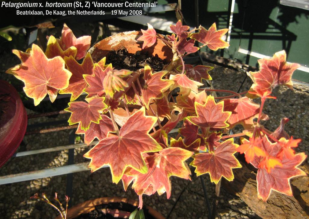 Pelargonium x. hortorum (St, Z) 'Vancouver Centennial' - Beatrixlaan, Kaag, NL 19 May 2008 02 Leo