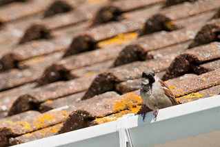 House Sparrow on House | by glidergoth