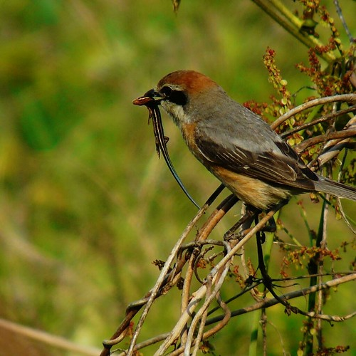 Male Shrike with prey | by coniferconifer