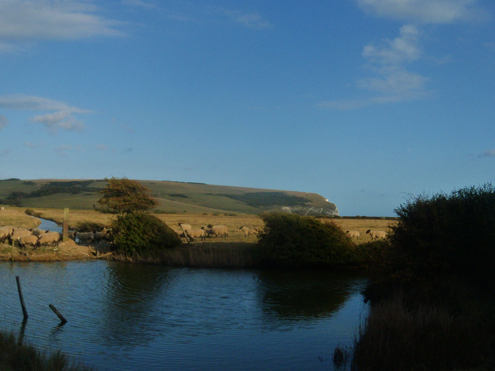 Sheep and Pond Cuckmere Haven Glynde to Seaford