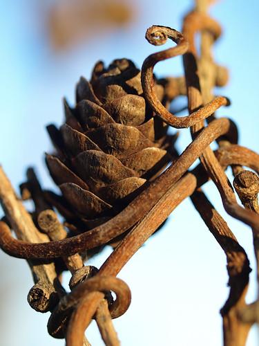 blue brown minnesota cone vine dry rochester tendril tamarack seedcone larixlaricina westernlarch larixoccidentalis explorehighest394 larixcone
