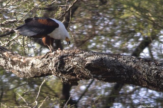 african_fish_eagle_Lake_Manyara_1169-tz008-resized