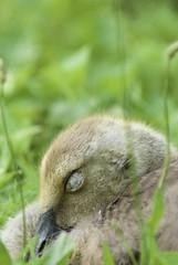 Baby Goose sleeping!