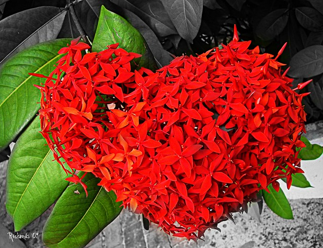 Another Ixora in love