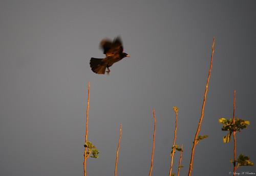 sunset redwingedblackbird
