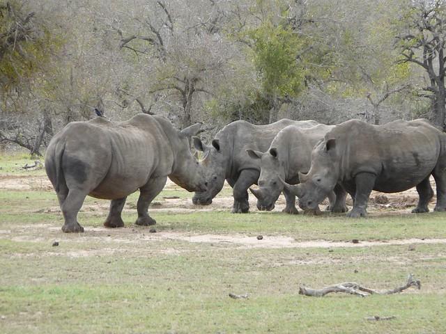 Rinocerontes en Swazilandia