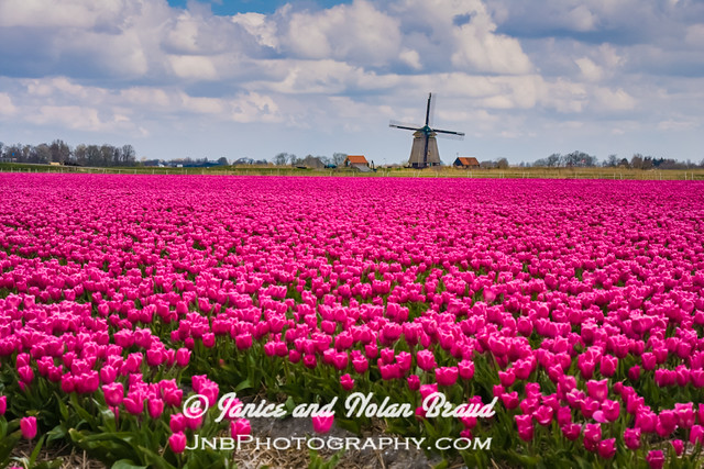Windmill and Tulip Fields in Holland JN022417