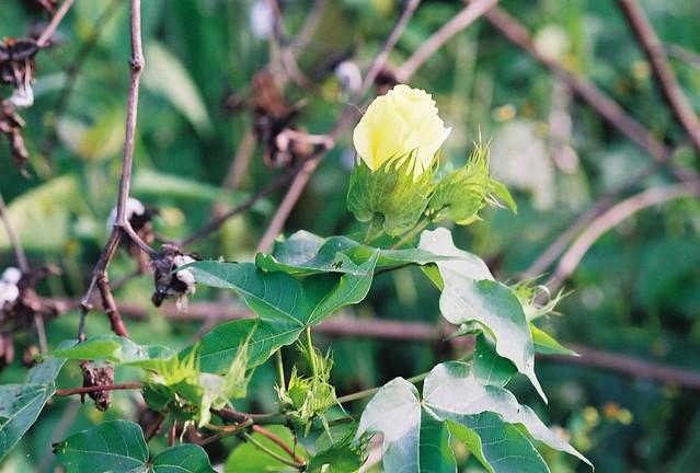 Gossypium barbadense L. (MALVACEAE)