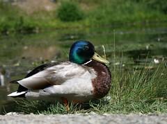 Kachna / Duck
