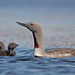 Lómur - Gavia stellata - Red-throated Loon (09_11) by Sigurjón Einarsson