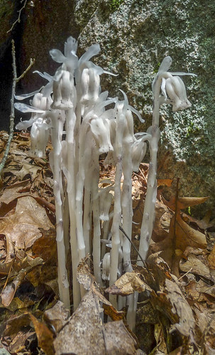 Monotropa uniflora (Indian Pipe) | by pvdEric