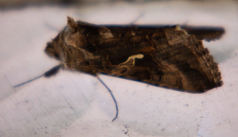 Golden Y moth