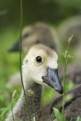 Baby Goose portrait!