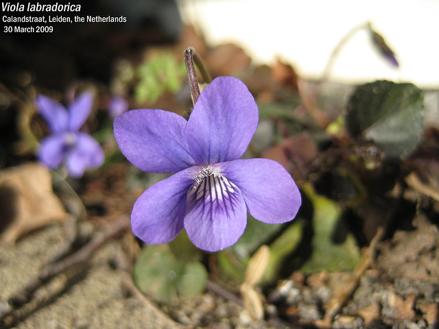 Viola labradorica - flwr Calandstr, Leiden, NL 30 Mar 2009 02 Leo