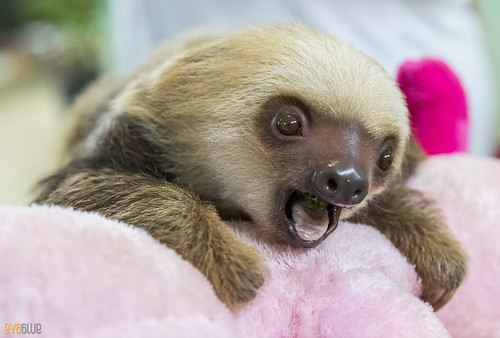 Hoffmann's two-toed sloth Gamboa Wildlife Rescue pandemonio 2017 - 16 | by Eva Blue