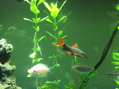 Fish: Gourami & Rainbow Shark
