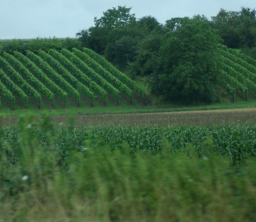 Grape vines + Corn field | by wfbakker2
