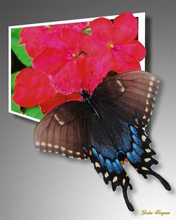swallowtail OOB