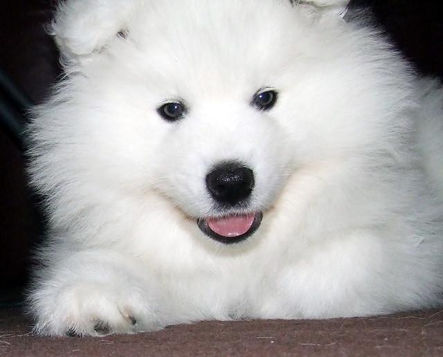 Samoyed Puppy ( Darwin )