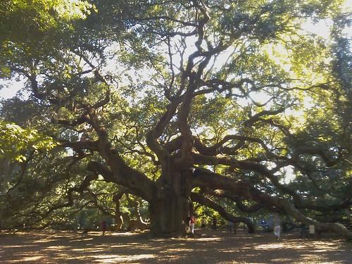 Angel Oak tree on °Johns° Island | by slworking2