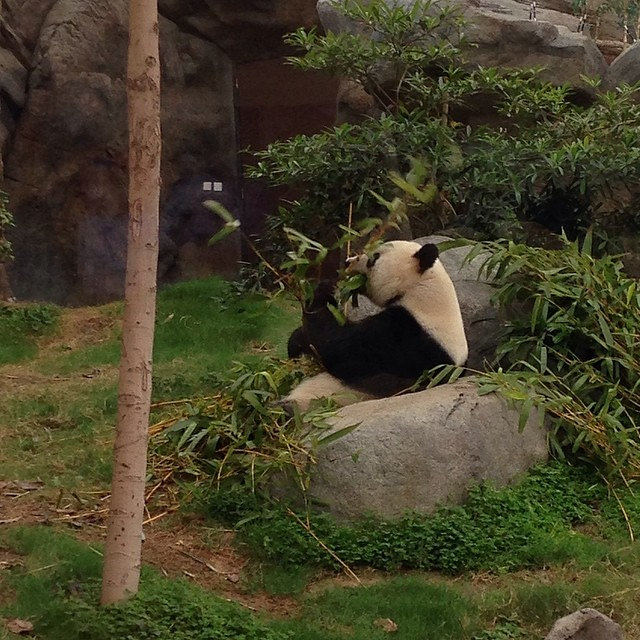 Hungry panda is hungry