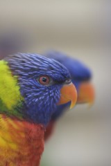 Rainbow Lorikeets | by geeky_and_blonde