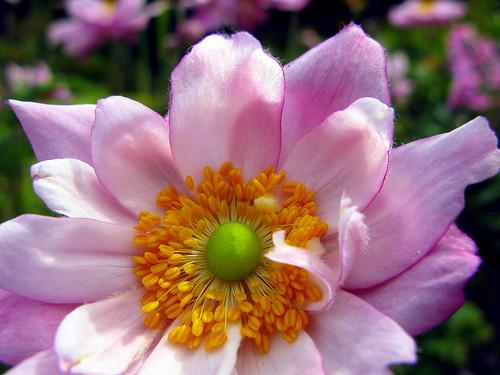pink ireland flower green anemone