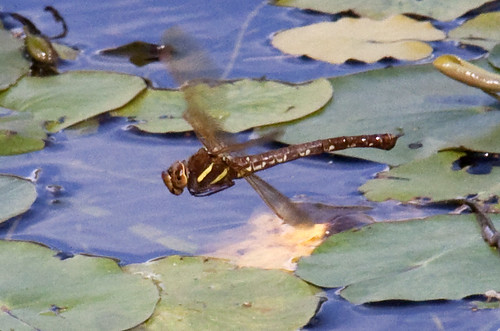 Brown Hawker Dragonfly in flight 5
