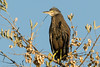Rufous-bellied Heron by David Schenfeld