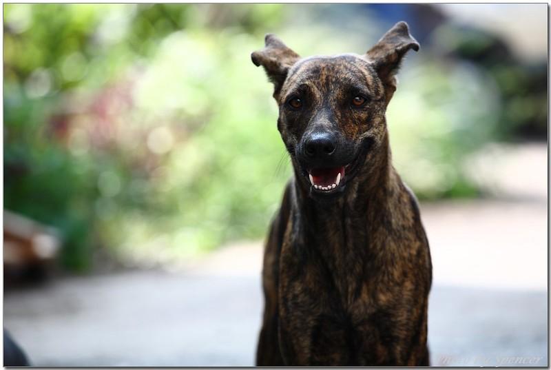 虎斑土狗 Taiwanese Dog