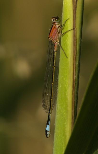 waterjuffer - damsel fly 1