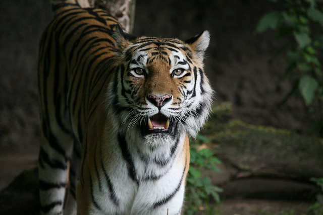 40 Gisa - Sibirische Tigerin