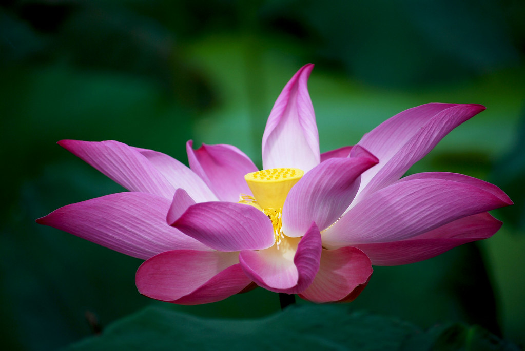 Lotus Flower The Biggest And Most Beautiful Lotus Flowers Flickr