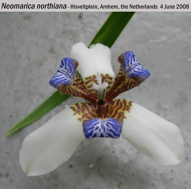 Neomarica northiana - Hisveltplein, Arnhem, NL 4 Jun 2008 01 Leo