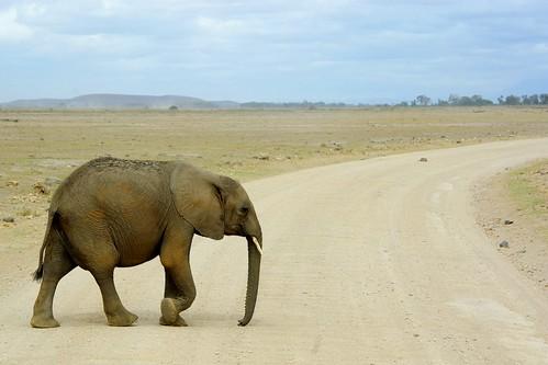 Elephant @ Amboseli | by hktang