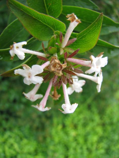 Abelia mosanensis_0574