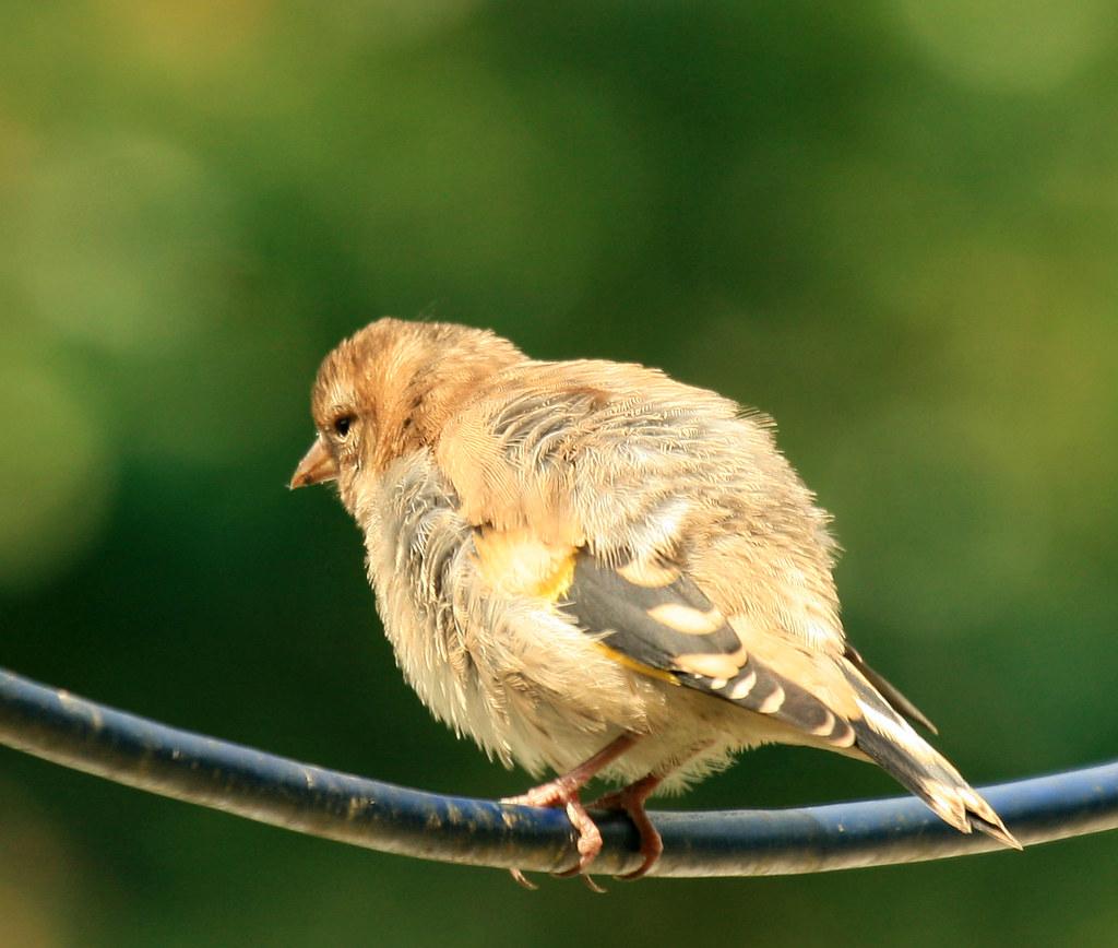 baby goldfinch | baby goldfinch taken in my garden south ...