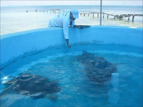 l'heure du repas pour les tortues cahuama | by endirectdesiles