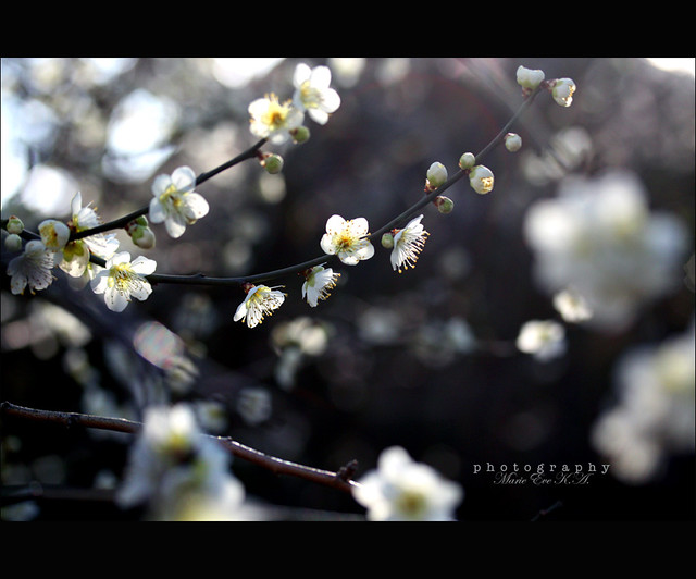 ' The silence of white flowers that dances in a circle like snow or light in air '