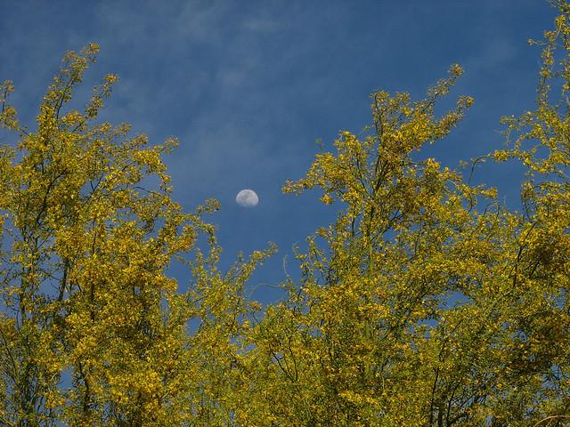 Blue Palo Verde Moon
