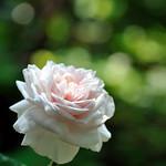 'Souvenir de la Malmaison'     old rose beauty