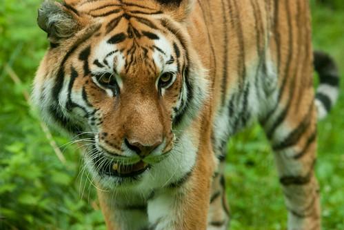 Tiger at the Bronx Zoo | by brims1285
