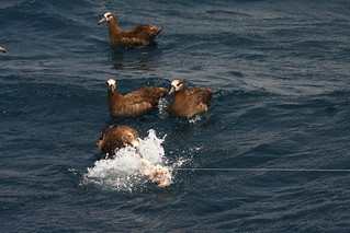 Albatross Feeding Frenzy | by Podoces