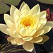 Water lily by Laramie_Coyote