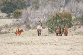 Brumbies | by Cowboy Dave